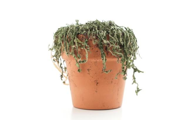 tanaman mati