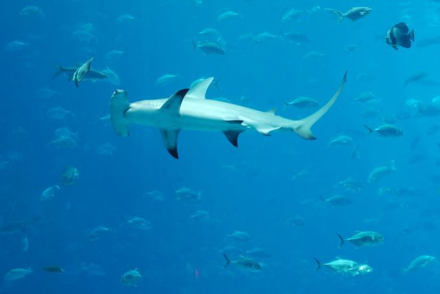 Hammerhead shark in Fiji Islands