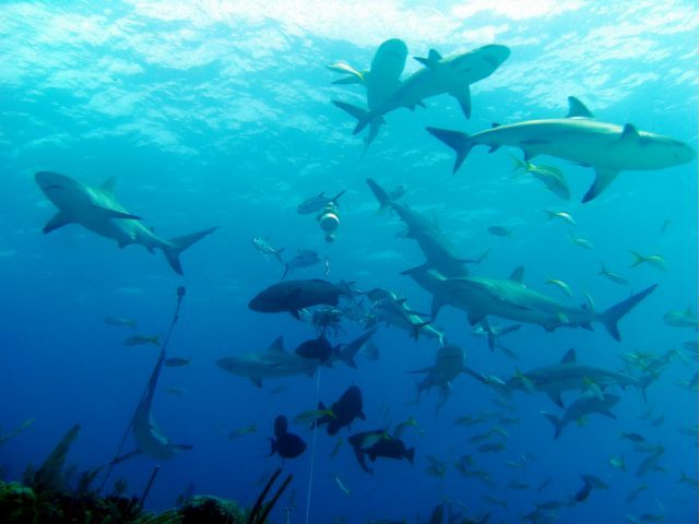 Reef sharks in Belize