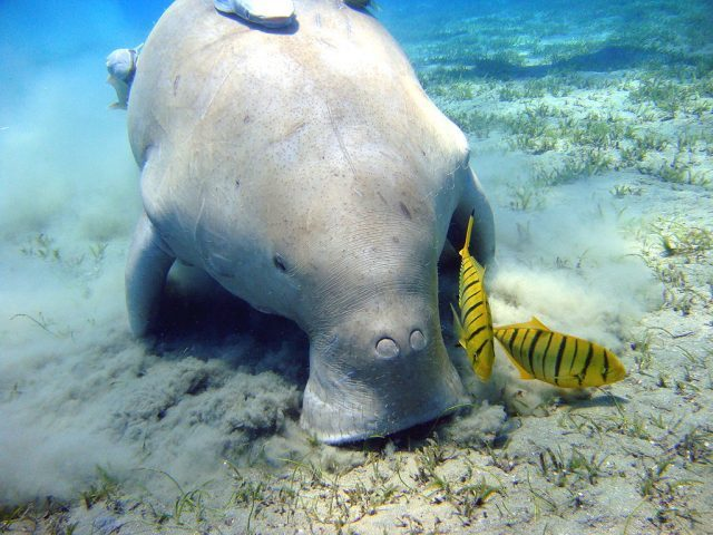 Dugongs in Indonesia