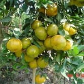 promo 2bibit jeruk keprok Chokun(siap buah)50cm up,rimbun