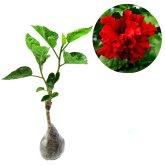Kebun Bibit Tanaman Hias Bunga Hibicus Curly Red