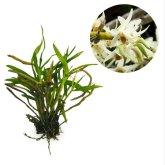 Kebunbibit Dendrobium Heterocarpum - 20cm