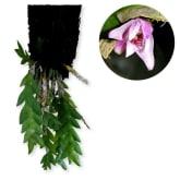 Kebunbibit Dendrobium sagitatum